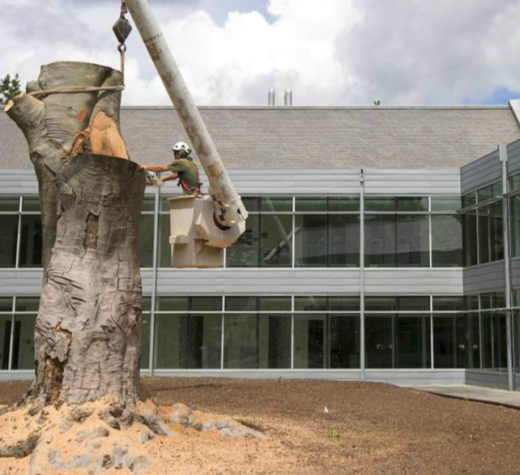 The beech tree outside the Lanphier Center was cut down during the summer while students were away from campus.